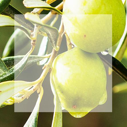 Olive Leaves